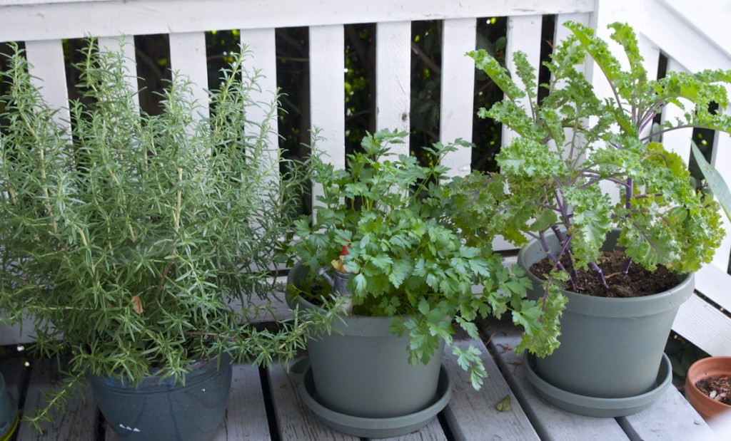 herbs potted